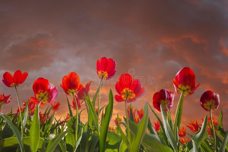 Prado e céu das flores da tulipa fotos de stock royalty free