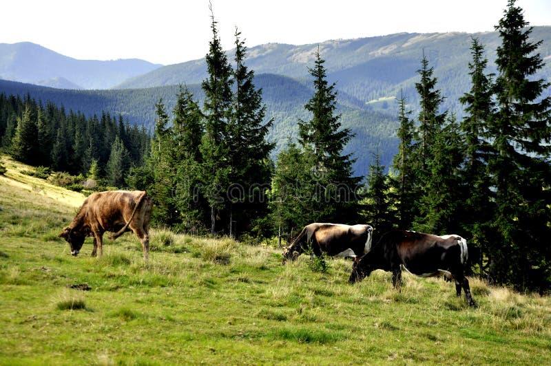 Prado en las monta?as con los ?rboles y las vacas fotos de archivo libres de regalías