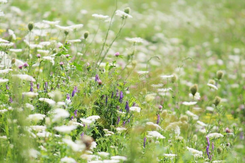 Prado floreciente con diversas flores salvajes Prado verde del verano con las flores blancas imagen de archivo libre de regalías