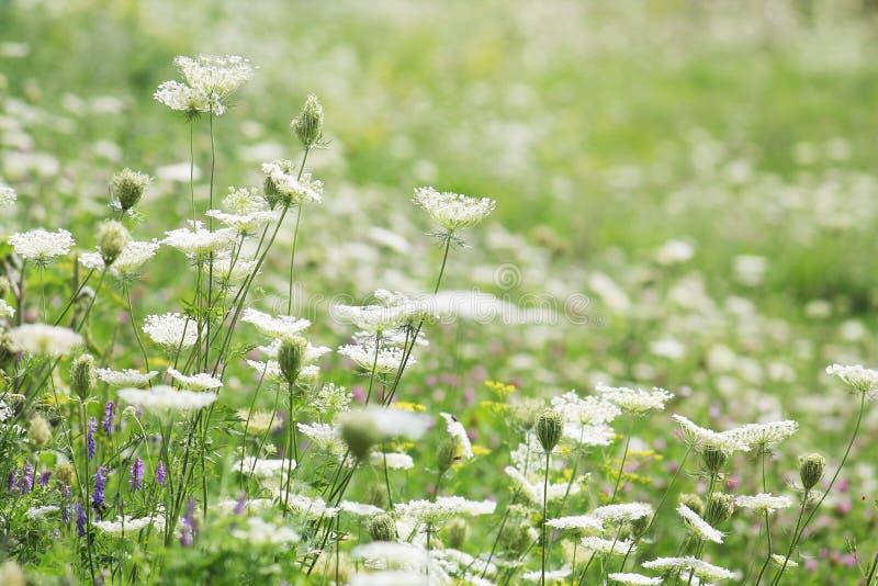 Prado floreciente con diversas flores salvajes Prado verde del verano con las flores blancas fotografía de archivo