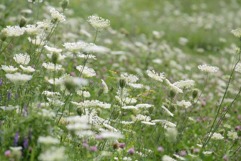 Prado floreciente con diversas flores salvajes Prado verde del verano con las flores blancas imagenes de archivo