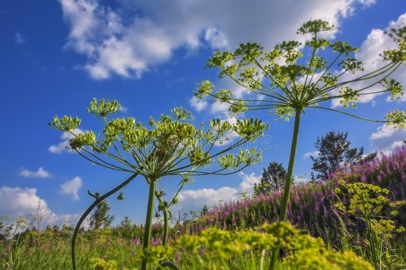 prado floreciente del paisaje del verano contra el cielo azul imagenes de archivo