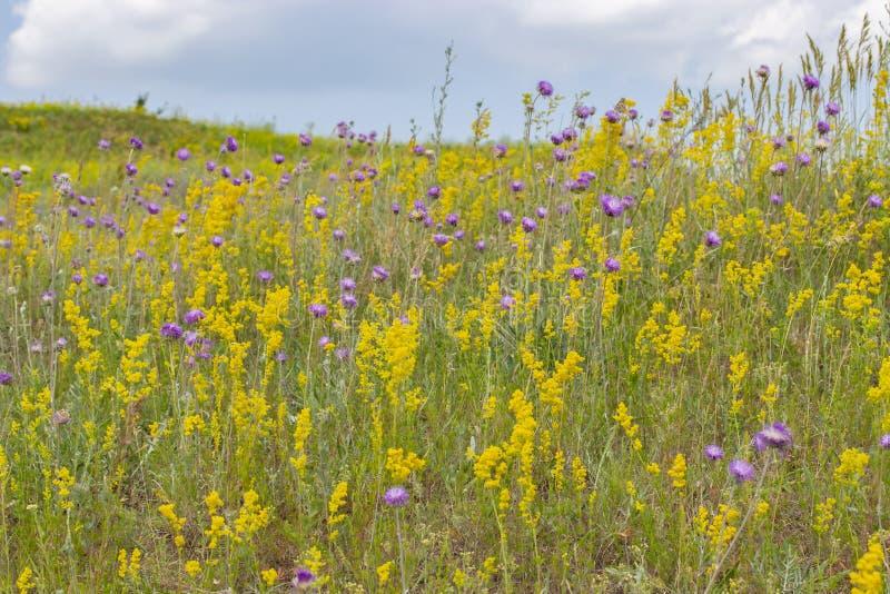 Prado floreciente, hierbas y flores salvajes en un prado del verano, flores violetas púrpuras amarillas e hierba verde Prado flor imágenes de archivo libres de regalías