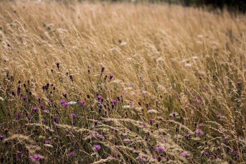 Prado gramíneo com flores imagens de stock royalty free