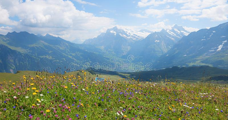 Prado hermoso en las montañas suizas, vista de la flor del verano al centro turístico del grindelwald imagen de archivo