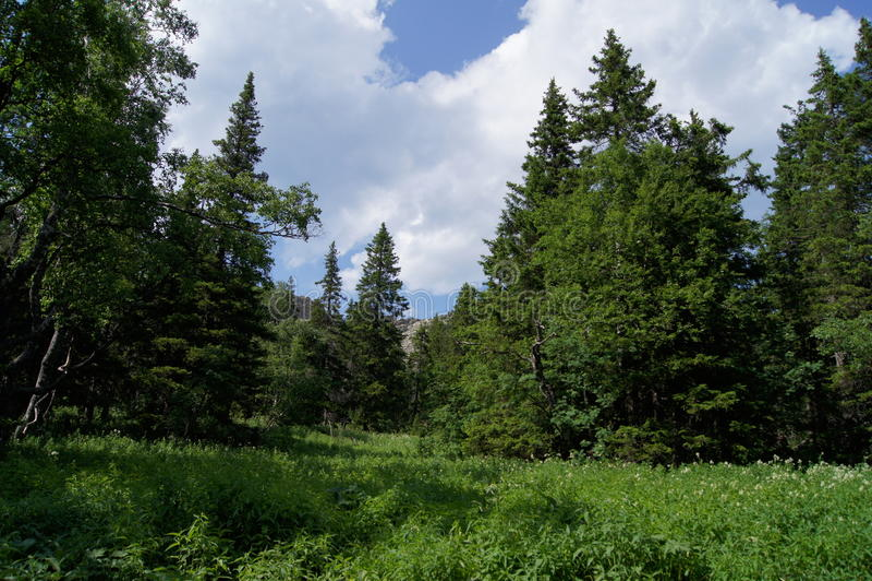 Prado na floresta do abeto foto de stock