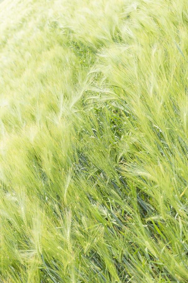 Prado ondulado do cereal no Polônia Fundo verde fotografia de stock