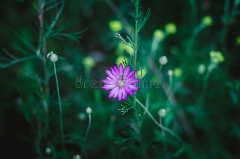 Prado púrpura de la flor de Immortelle con pequeños descensos de Rosa y de un mosquito en un brote Fondo verde oscuro Tiroteo en  fotografía de archivo