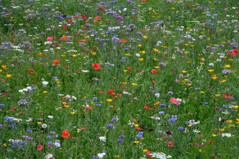 Prado por completo de una variedad de flores salvajes coloridas incluyendo los acianos azules y las maravillas amarillas, Inglate imagen de archivo libre de regalías