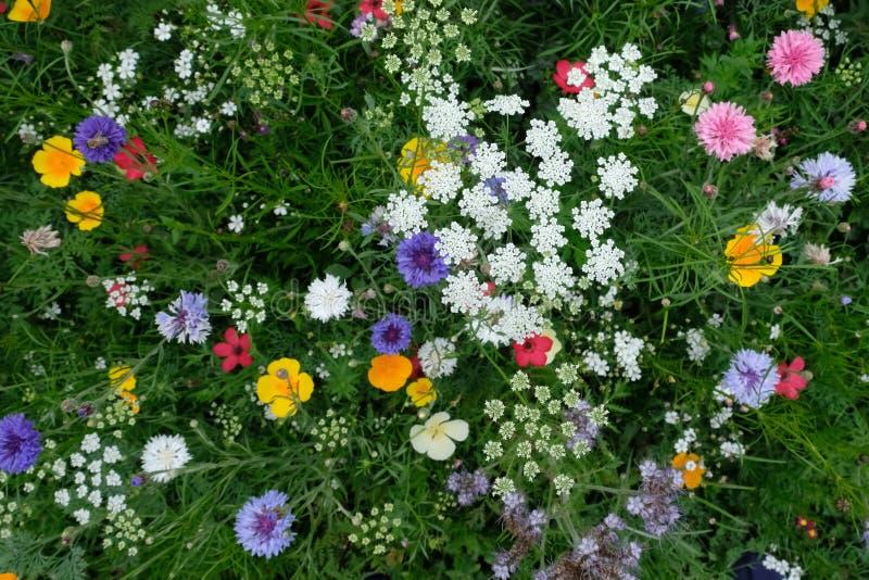 Prado por completo de una variedad de flores salvajes coloridas incluyendo los acianos azules y los ranúnculos amarillos, Inglate fotografía de archivo