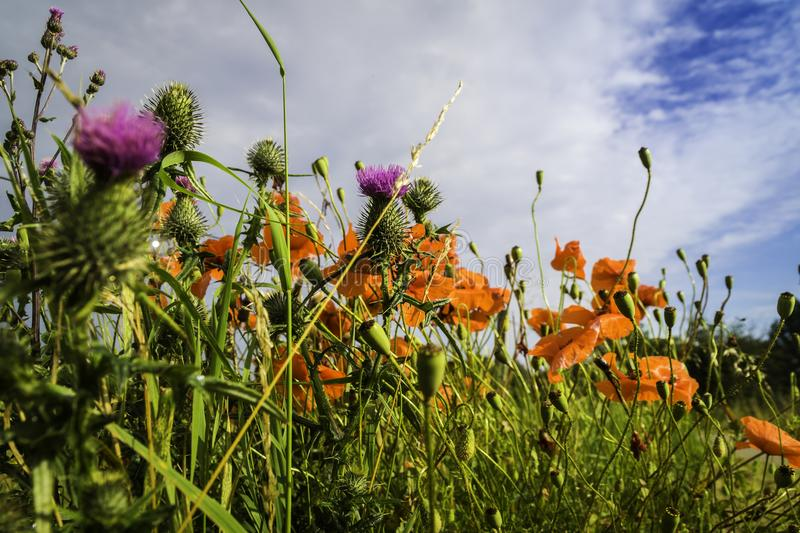 Prado salvaje del verano foto de archivo