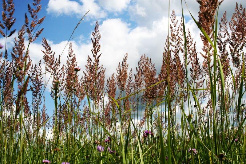 Prado soleado con las hierbas altas fotografía de archivo libre de regalías