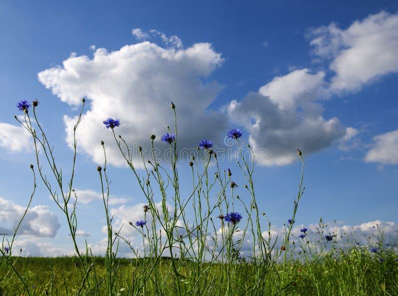 Prado soleado del verano con acianos florecientes contra un cielo azul fotos de archivo