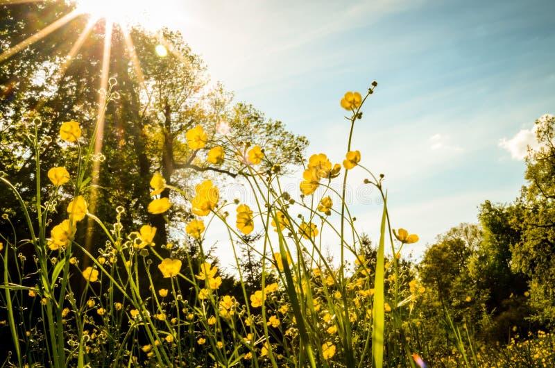 Prado verde com as flores amarelas de florescência do botão de ouro foto de stock royalty free