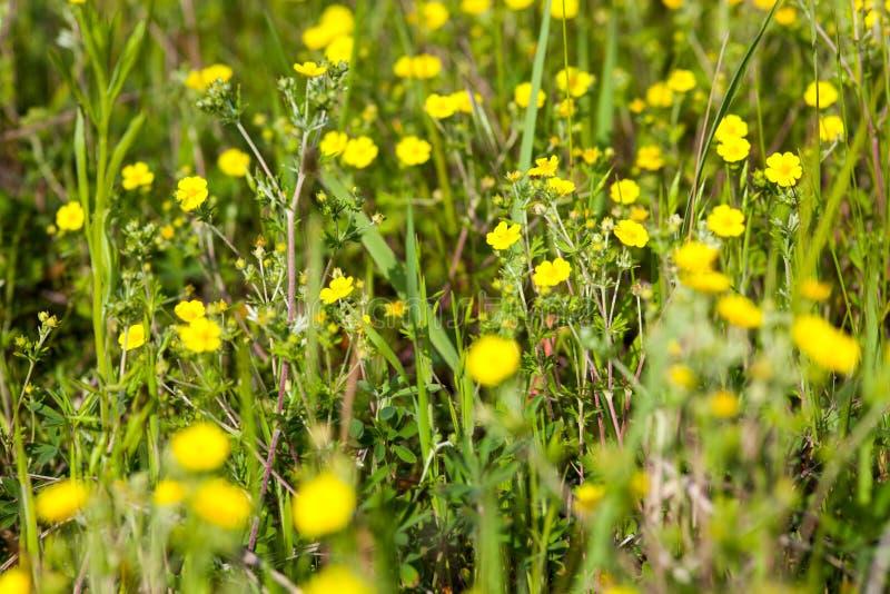 Prado verde com as flores amarelas do botão de ouro foto de stock