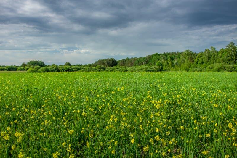 Prado verde con las flores amarillas, bosque en horizonte y nubes oscuras en el cielo imágenes de archivo libres de regalías