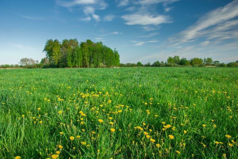 Prado verde con las flores amarillas, los ?rboles en el horizonte y las nubes blancas en el cielo azul imágenes de archivo libres de regalías