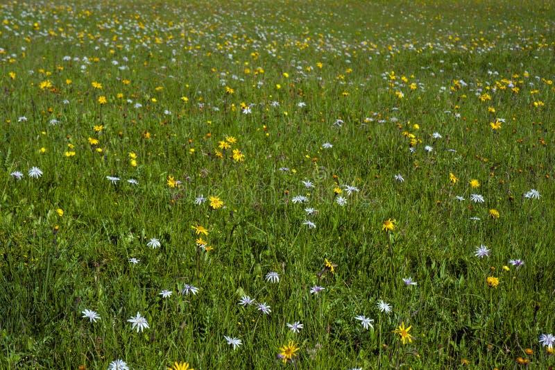 Prado verde da montanha com as flores coloridas da montanha como um fundo ou uma textura fotos de stock