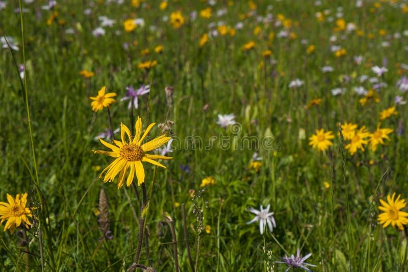 Prado verde da montanha com as flores coloridas da montanha como um fundo ou uma textura imagem de stock