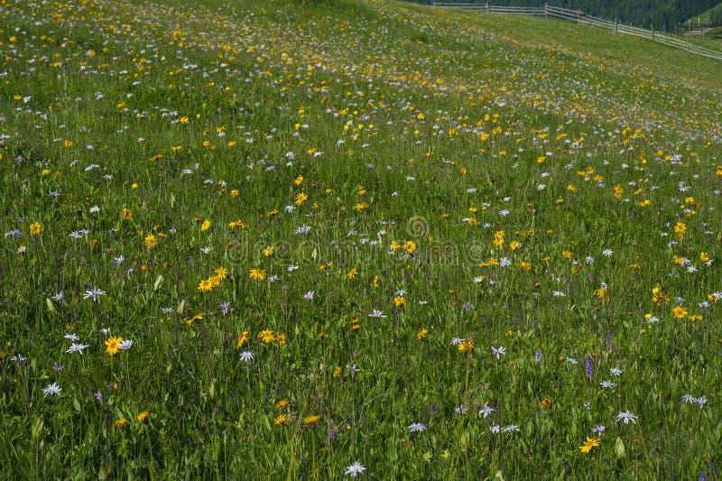Prado verde da montanha com as flores coloridas da montanha como um fundo ou uma textura fotos de stock royalty free