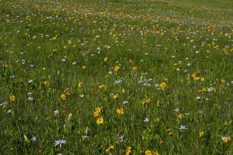 Prado verde da montanha com as flores coloridas da montanha como um fundo ou uma textura imagens de stock royalty free