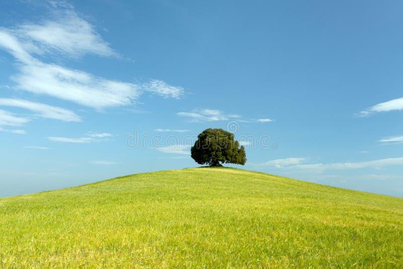 Prado verde e única árvore fotos de stock royalty free