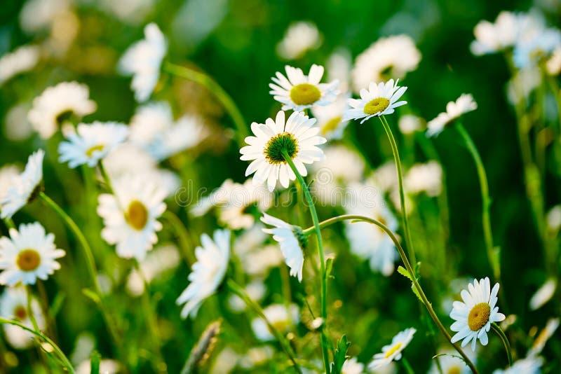 Prado verde e branco da mola no sol - camomila Campo de flores da margarida imagem de stock royalty free