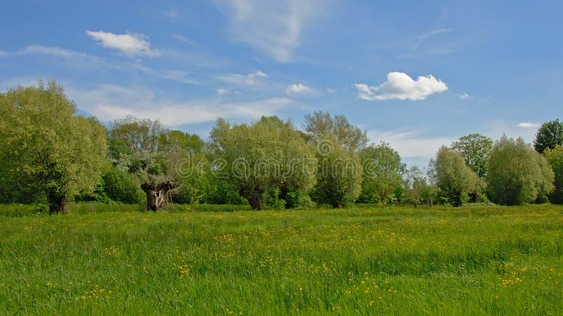 Prado verde enorme con los sauces pollarded en la reserva de naturaleza de Bourgoyen, Gante imagenes de archivo