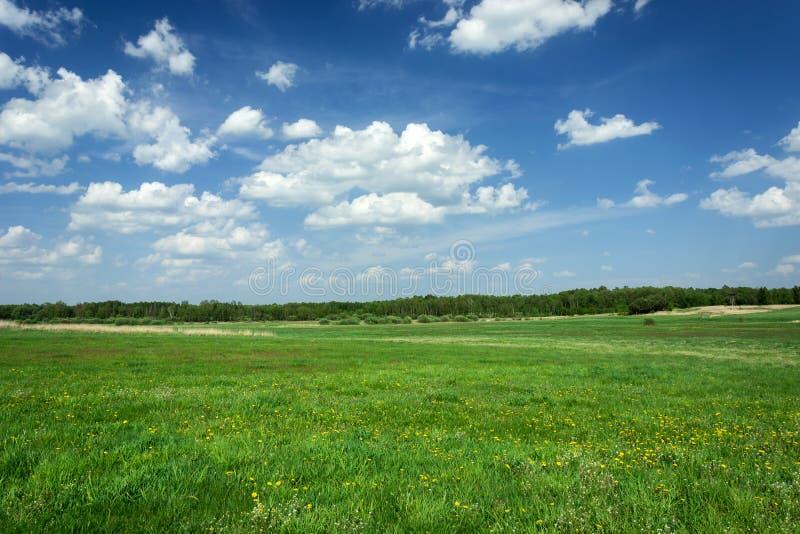 Prado verde grande con las flores amarillas, bosque en el horizonte y nubes blancas en el cielo azul imagenes de archivo