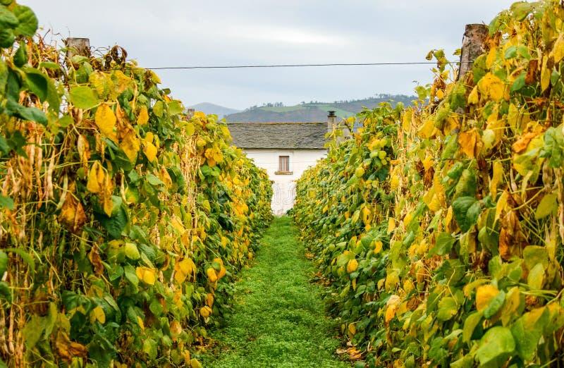 Prado verde para uma casa branca com janela entre filas de feijão foto de stock royalty free