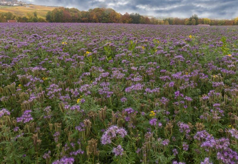 Prado violeta bonito foto de stock royalty free