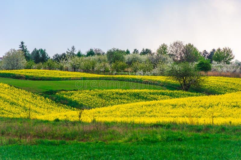 prados coloridos da mola com campos amarelos da violação fotos de stock