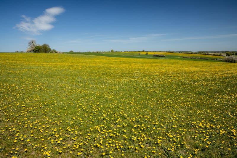Prados e campos com flores do dente-de-leão imagens de stock royalty free