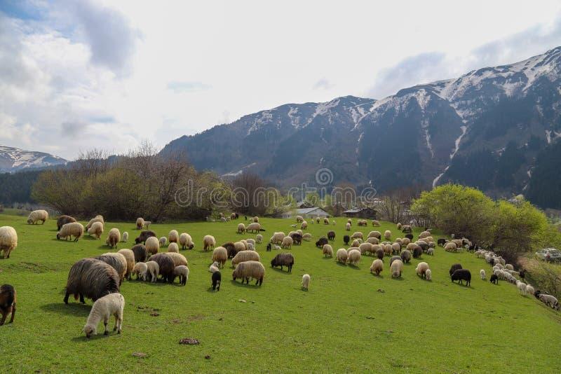Prados verdes, caballos, vacas, ovejas fotografía de archivo libre de regalías