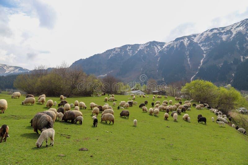Prados verdes, caballos, vacas, ovejas fotografía de archivo
