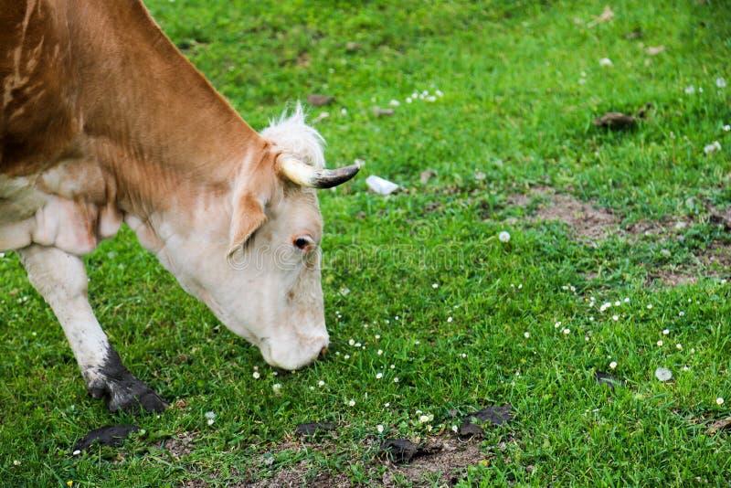 Prados verdes, caballos, vacas, ovejas foto de archivo libre de regalías