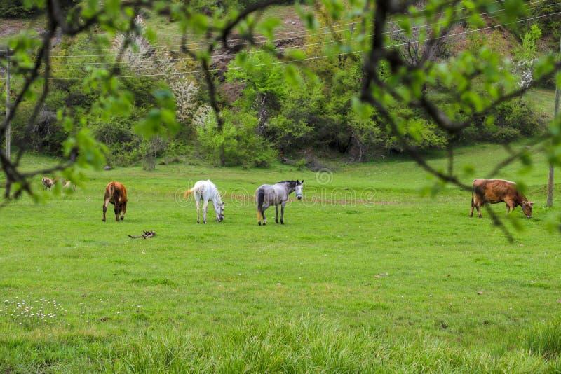 Prados verdes, caballos, vacas, ovejas imagen de archivo libre de regalías