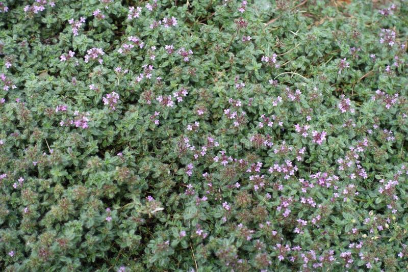 Praecox тимуса с розовыми головами цветка стоковая фотография rf