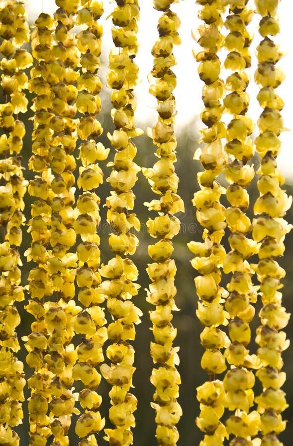 Praecox del Chimonanthus fotografie stock libere da diritti
