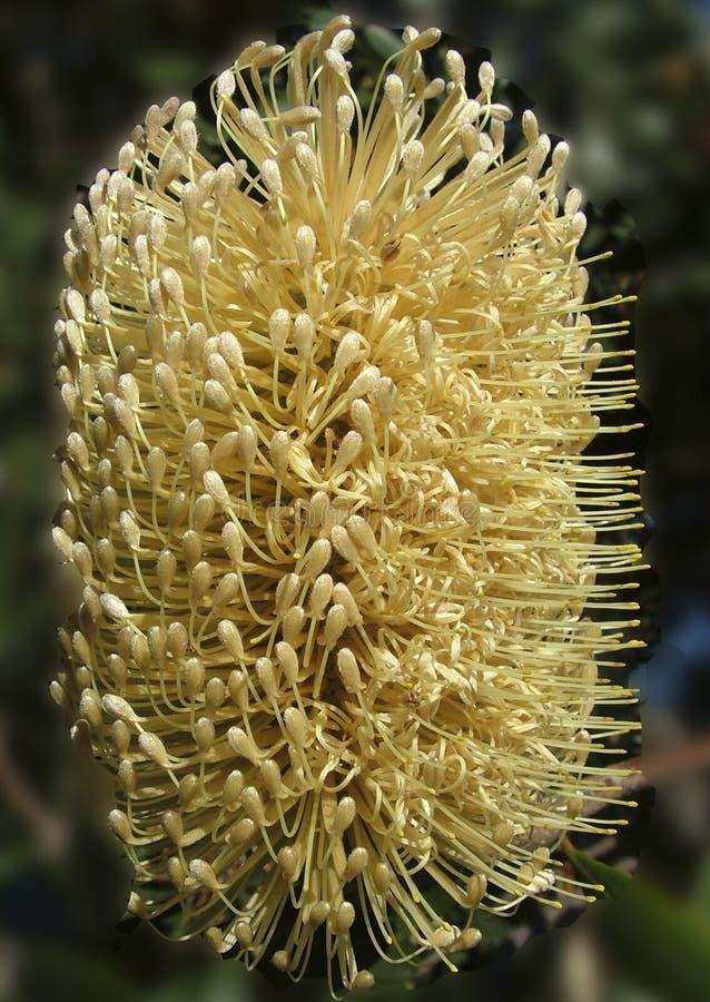 Praemorsa giallo di Banksia immagini stock libere da diritti