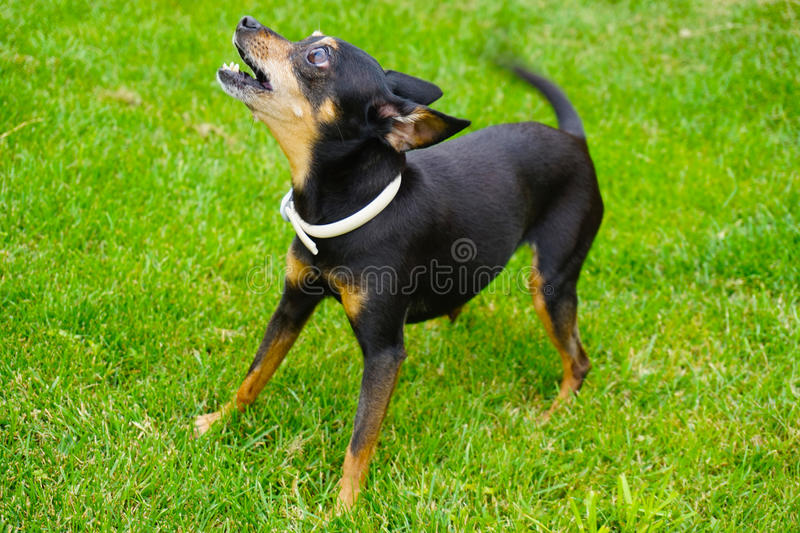 Prag-Rattenfängerhund stockfotografie
