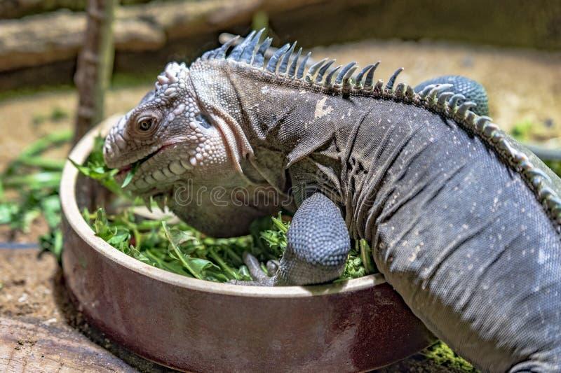 Prag-Zoo Leguan-Ausstellung stockfotografie