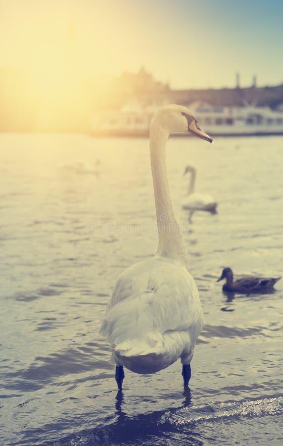 praga Cisnes no rio de Vltava Efeito retro imagens de stock royalty free