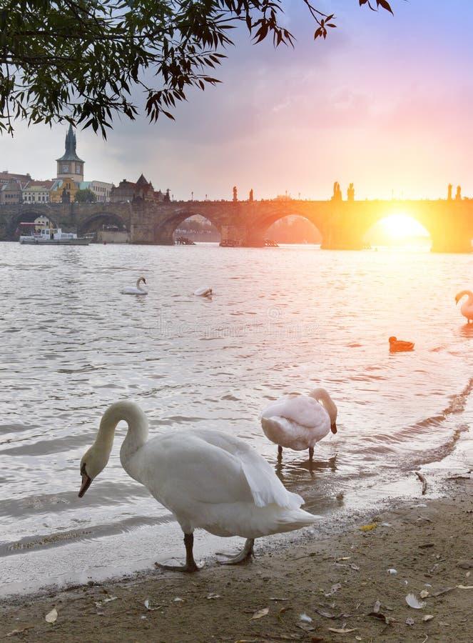 praga Cisnes no rio e no Charles Bridge de Vltava em um fundo foto de stock royalty free