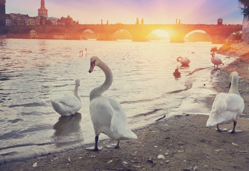 praga Cisnes no rio e no Charles Bridge de Vltava em um fundo imagens de stock royalty free