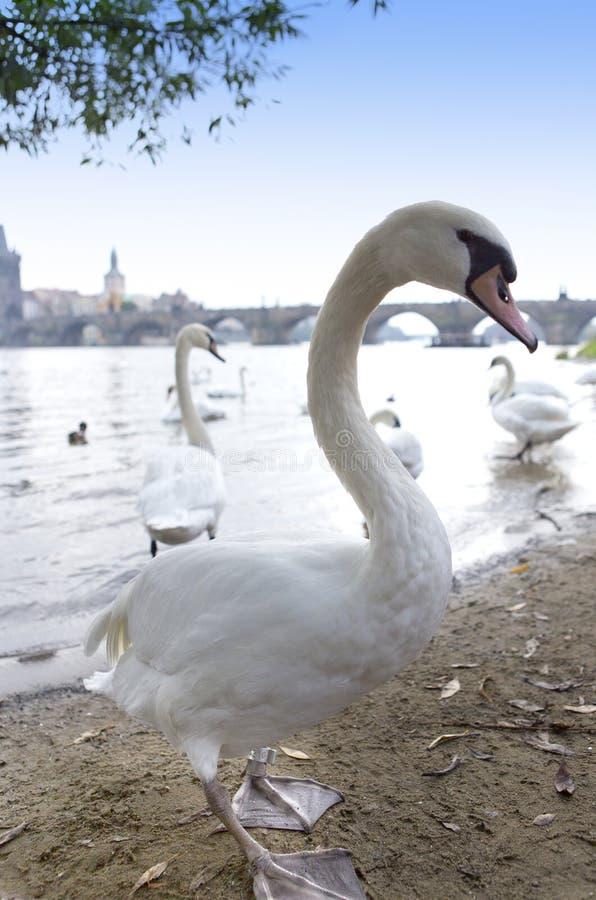 praga Cisnes no rio e no Charles Bridge de Vltava em um fundo foto de stock