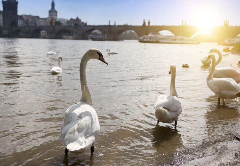praga Cisnes no rio e no Charles Bridge de Vltava em um fundo imagem de stock