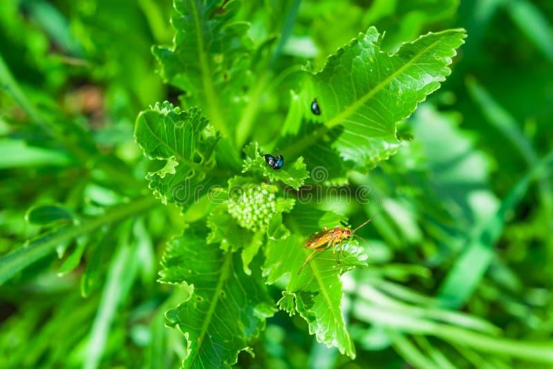 Praga do jardim do erro do inseto, as Crucíferas de Phyllotreta do besouro de pulga da couve nas folhas verdes da foda nova imagem de stock