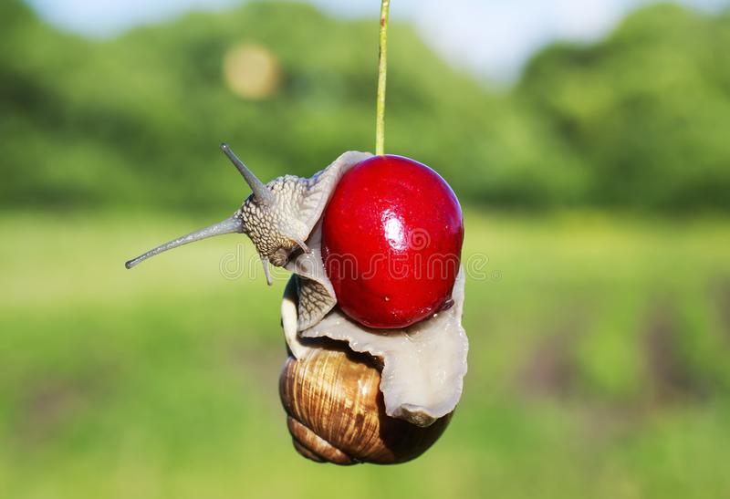 Praga engraçada do caracol de jardim que pendura em cerejas vermelhas maduras da baga dentro fotografia de stock
