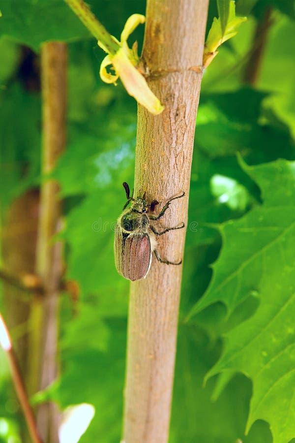 Praga europeia do besouro - melolontha comum do besouro europeu igualmente conhecido foto de stock royalty free